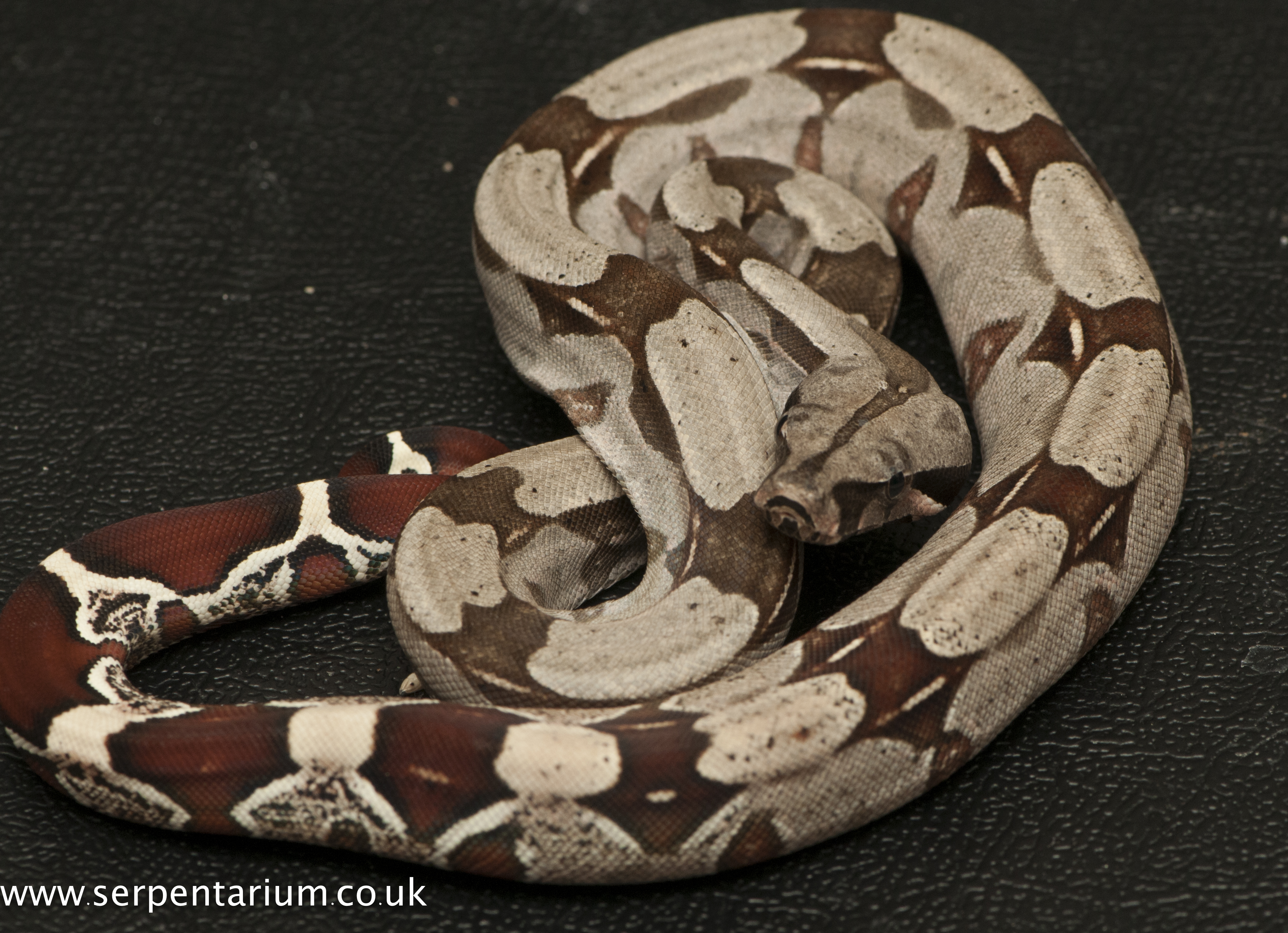 Boa Constrictor Constrictor | Serpentarium